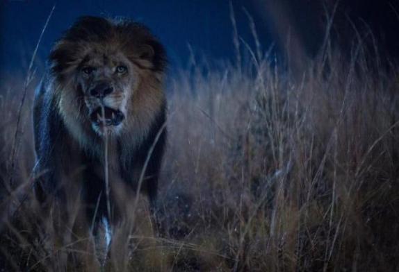 un-lion-dans-le-role-du-lion